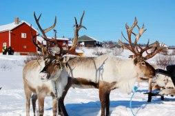 reindeer-kautokeino