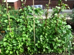 malabar-spinach